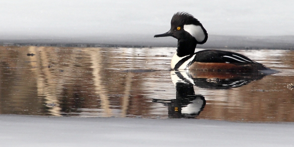 Photo by Chris Bosak A Hooded Merganser swim in a small unfrozen section of water at Selleck's/Dunlap in Darien, Conn., in Feb. 2014.