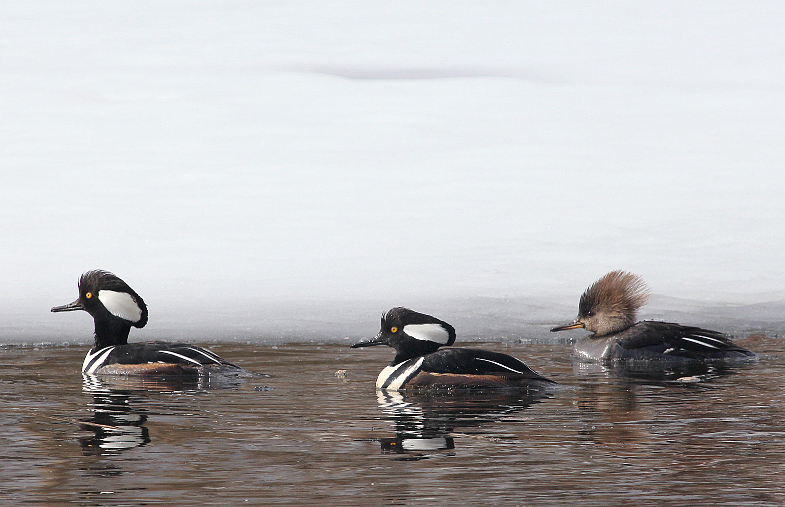 Photo by Chris Bosak Hooded Mergansers swim in a small unfrozen section of water at Selleck's/Dunlap in Darien, Conn., in Feb. 2014.