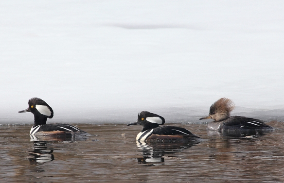 Photo by Chris Bosak Hooded Mergansers swim in a small unfrozen section of water at Selleck's/Dunlap in Darien, Conn., in Feb. 2014.