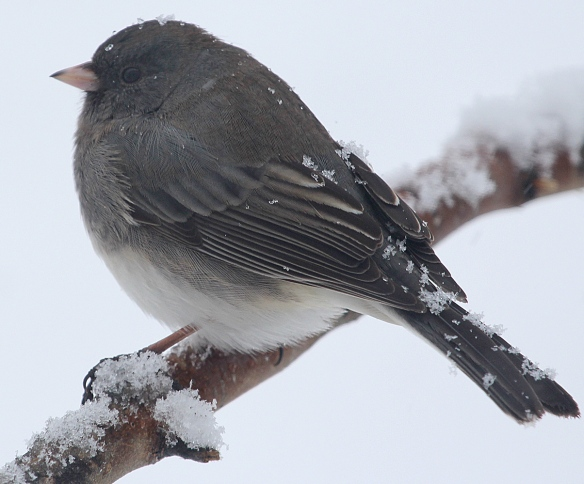 Photo by Chris Bosak Dark-eyed Junco during Jan. 2014 snowstorm.