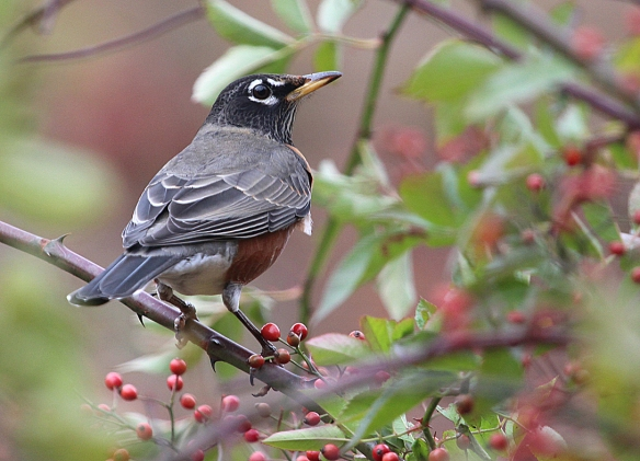 Photo by Chris Bosak American Robin in Selleck's Woods in fall 2013.