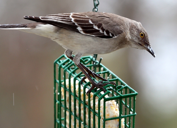 Photo by Chris Bosak A Northern Mockingbird visits a suet feeder as snow falls in March 2014 in Stamford, CT.