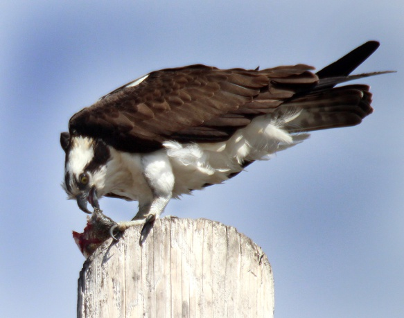 Photo by Chris Bosak Osprey eats a fish at Norwalk's Calf Pasture Beach, March 26, 2013.