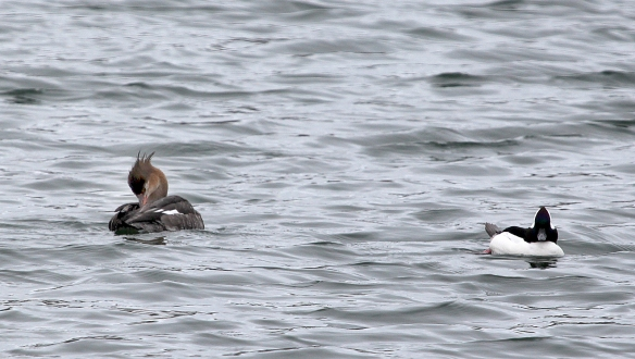 Photo by Chris Bosak A female Red-breasted Merganser and a male Bufflehead swim in Norwalk Harbor in this March 2014 photo.