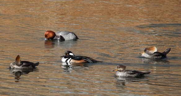 Photo by Chris Bosak A flock of Hooded Mergansers swims past a Redhead at a Darien pond in March 2014.