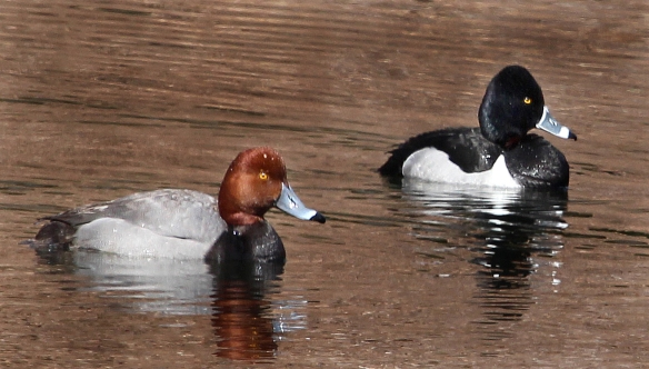 Photo by Chris Bosak A Redhead swims alongside a Ring-necked Duck in Darien in March 2014.