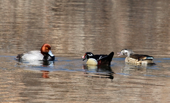 Photo by Chris Bosak A pair of Wood Ducks show their displeasure with a nearby Redhead in Darien in March 2014.