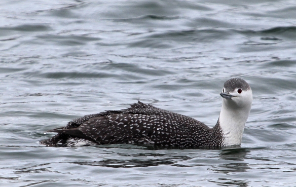 Photo by Chris Bosak A Red-throated Loon swims in Norwalk Harbor in this March 2014 photo.