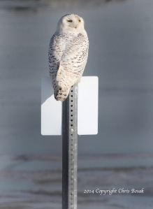 Photo by Chris Bosak A Snowy Owl sits on a sign at The Coastal Center at Milford Point in early March 2014.