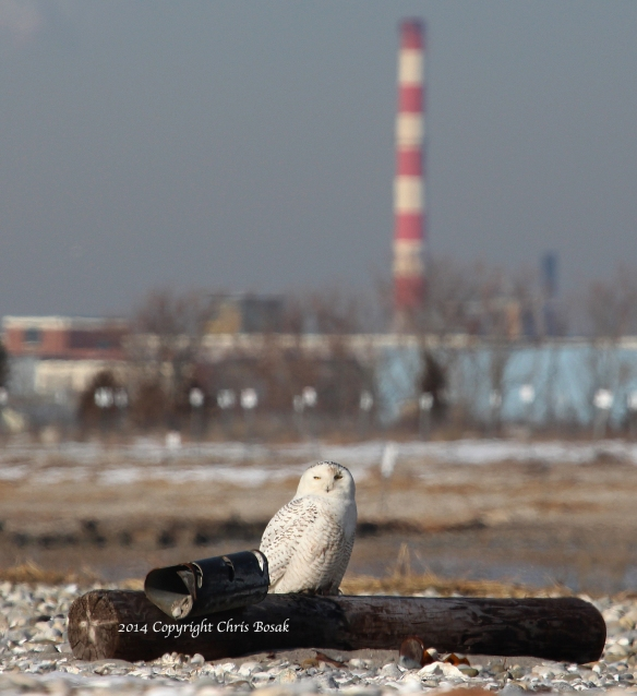 Photo by Chris Bosak A Snowy Owl sits on an old telephone pole at The Coastal Center at Milford Point in early March 2014. Smoke stacks in Bridgeport loom in the background.