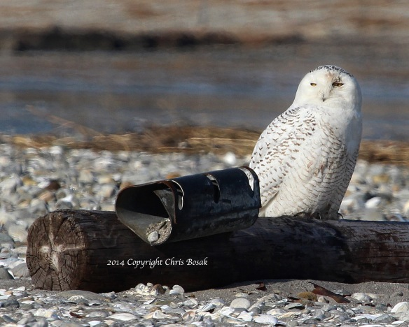 Photo by Chris Bosak A Snowy Owl sits on an old telephone pole on the beach at The Coastal Center at Milford Point in early March 2014.