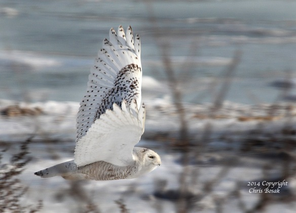 Photo by Chris Bosak A Snowy Owl flies across the beach at The Coastal Center at Milford Point in early March 2014.