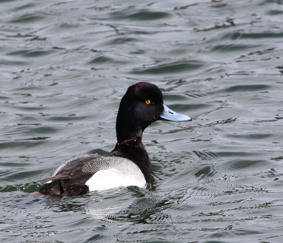 Photo by Chris Bosak Greater Scaup in Norwalk Harbor, March 2014.
