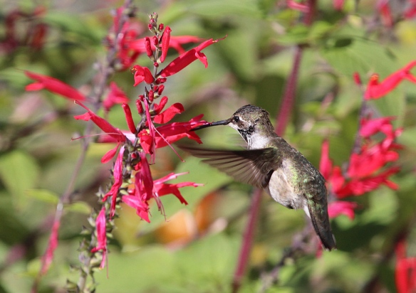 Photo by Chris Bosak A Black-chinned Hummingbird visits flowers this fall in Fairfield. Black-chinned Hummingbirds are native to western U.S. This was the first one recorded in Connecticut.