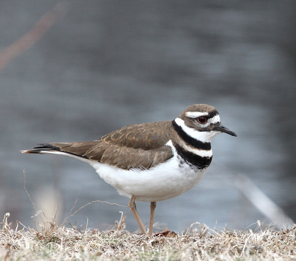 Photo by Chris Bosak A Killdeer at a cemetery in Darien, CT, April 2014.