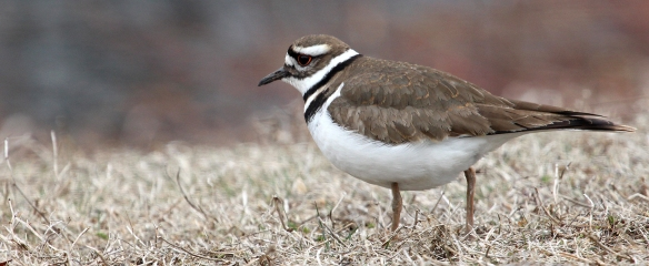 Photo by Chris Bosak A Killdeer at a cemetery in Darien, Conn., April 2014.