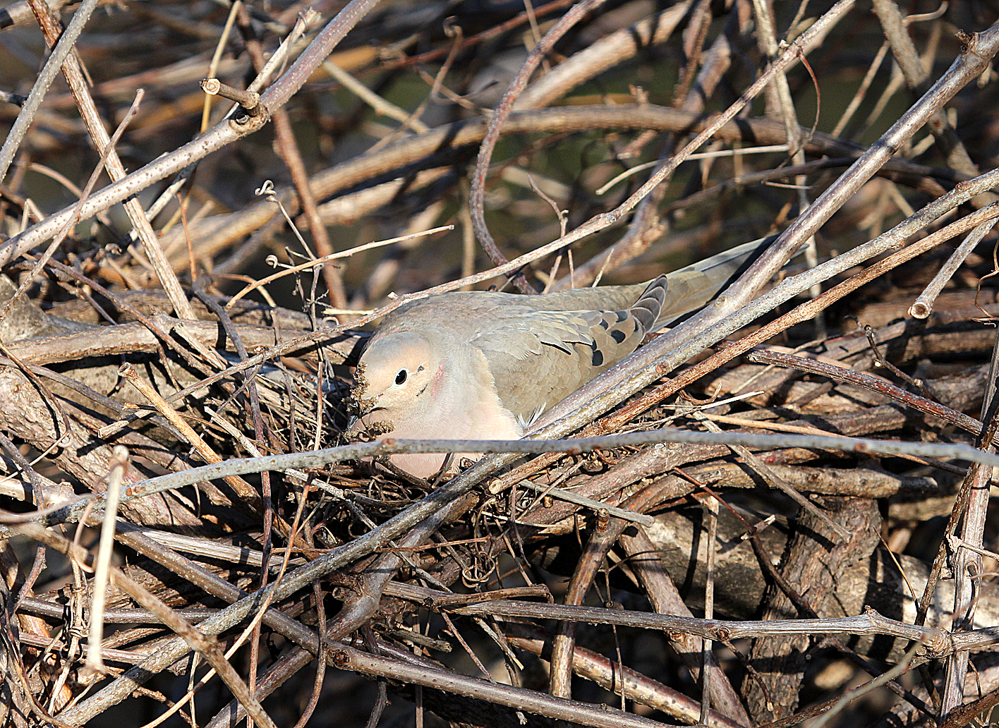 Photo by Chris Bosak A Mourning Dove sits on a nest at Oyster Shell Park in Norwalk, CT., April 1014.