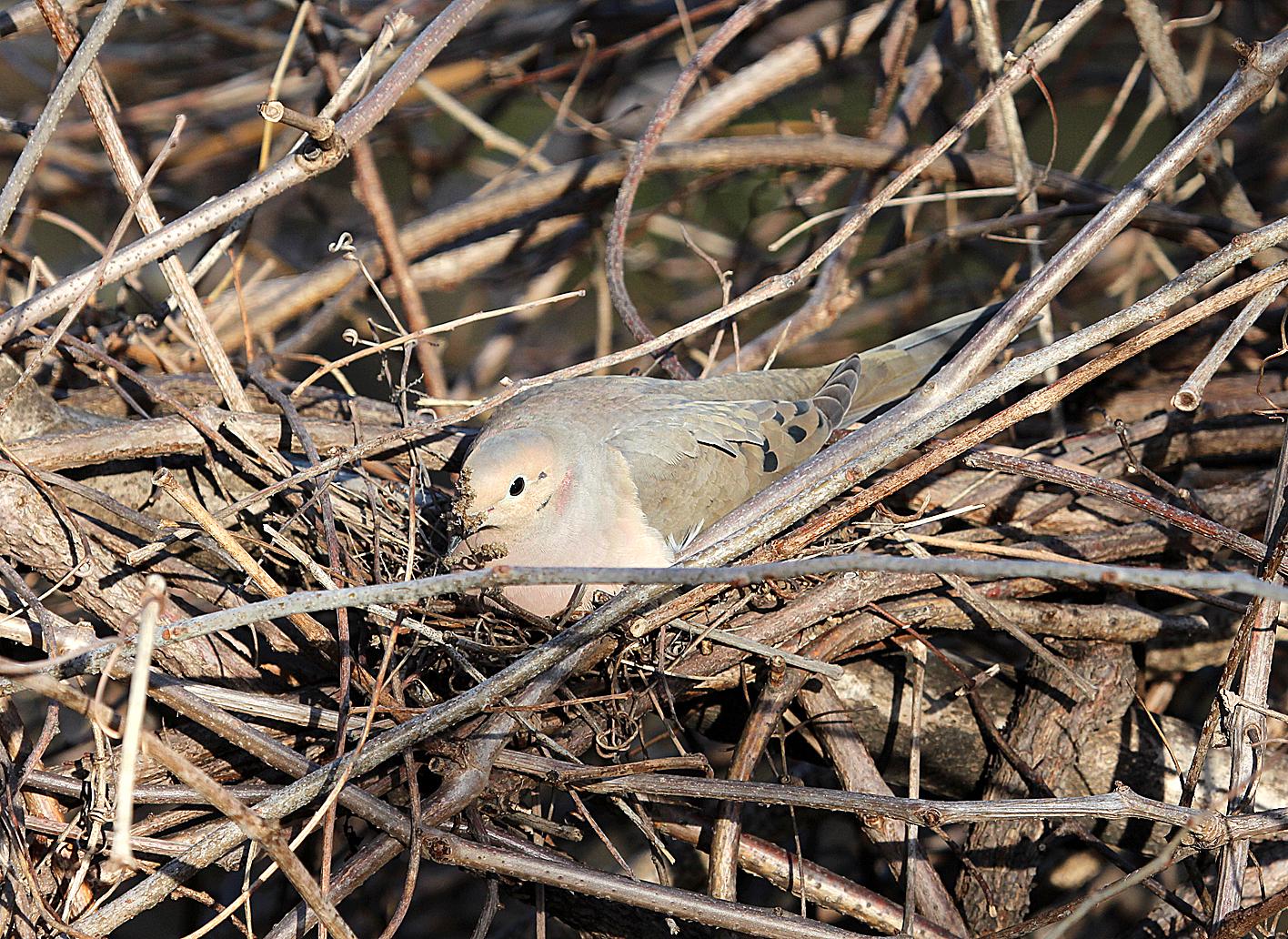 Mourning Dove Nest Mourning Dove sitting ...