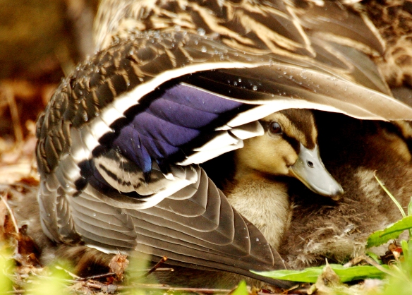 Photo by Chris Bosak A baby mallard stays dry during a rainfall by huddling under its mother's wing.