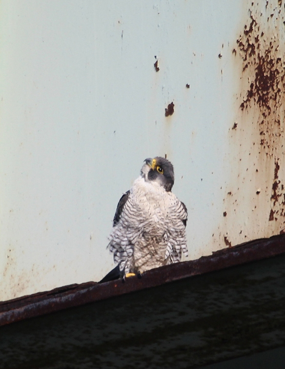 Photo by Chris Bosak Peregrine Falcon on Yankee Doodle Bridge on I-95 in Norwalk, Conn., April 2014.