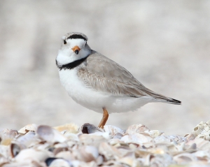 Photo by Chris Bosak Piping Plover at Coastal Center at Milford Point, April, 2014.