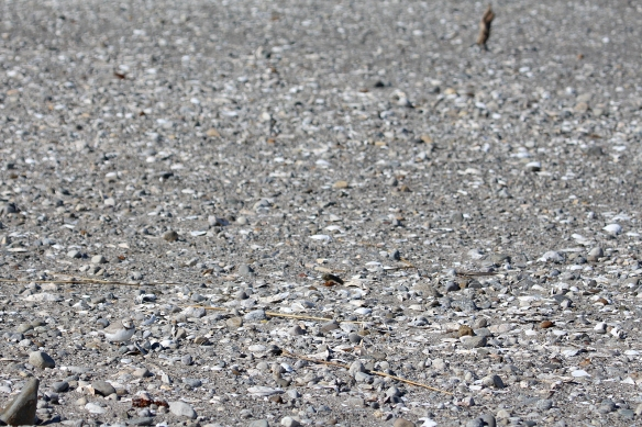 Photo by Chris Bosak Piping Plover at Coastal Center at Milford Point, Conn., April 2014.