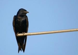 Purple Martin at Cove Island in Stamford.