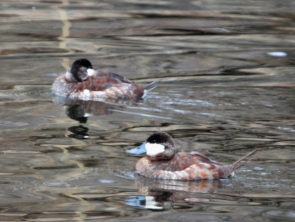 Photo by Chris Bosak Ruddy Ducks at a pond in Stamford, Conn., April 2014.