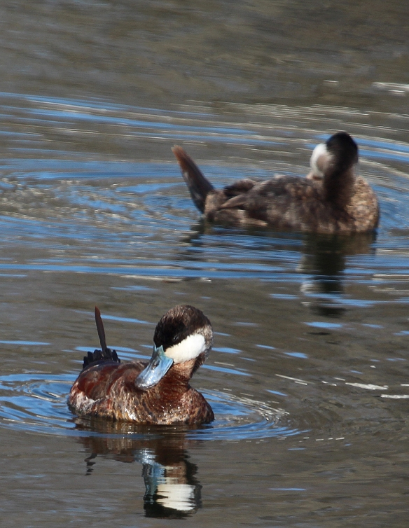 Photo by Chris Bosak Horned Grebe at Cove Island Park in Stamford, CT, April 2014.