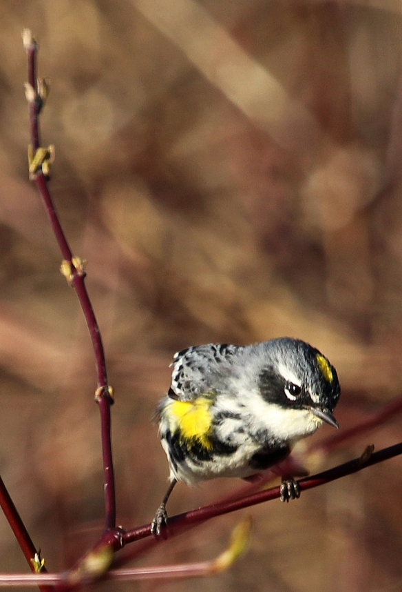 Photo by Chris Bosak Yellow-rumped Warbler in Selleck's Woods, Darien, Conn., April 2014.