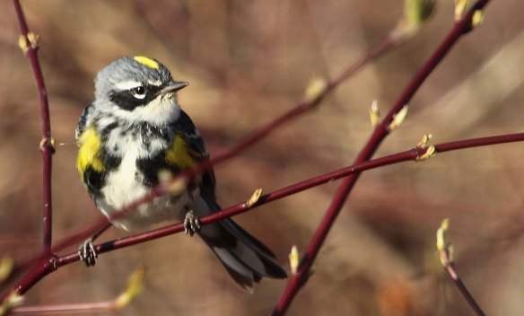 Photo by Chris Bosak Yellow-rumped Warbler in Selleck's Woods, Darien, Conn., April 2014.