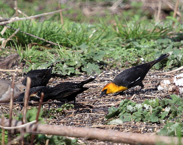 Photo by Chris Bosak A Yellow-headed Blackbird eats seeds under a feeder station at Cove Island Wildlife Sanctuary in April 2014.