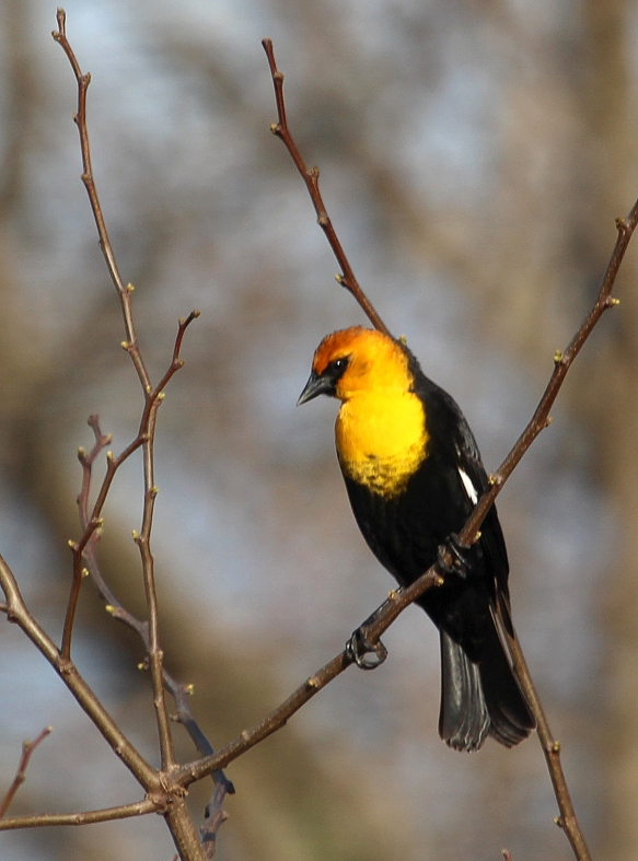 Photo by Chris Bosak A Yellow-headed Blackbird perches in a tree at Cove Island Wildlife Sanctuary in April 2014.