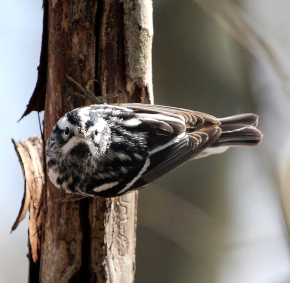 Photo by Chris Bosak A Black-and-white Warbler perches in a tree at Selleck's/Dunlap Woods on Sunday, May 4, 2014.