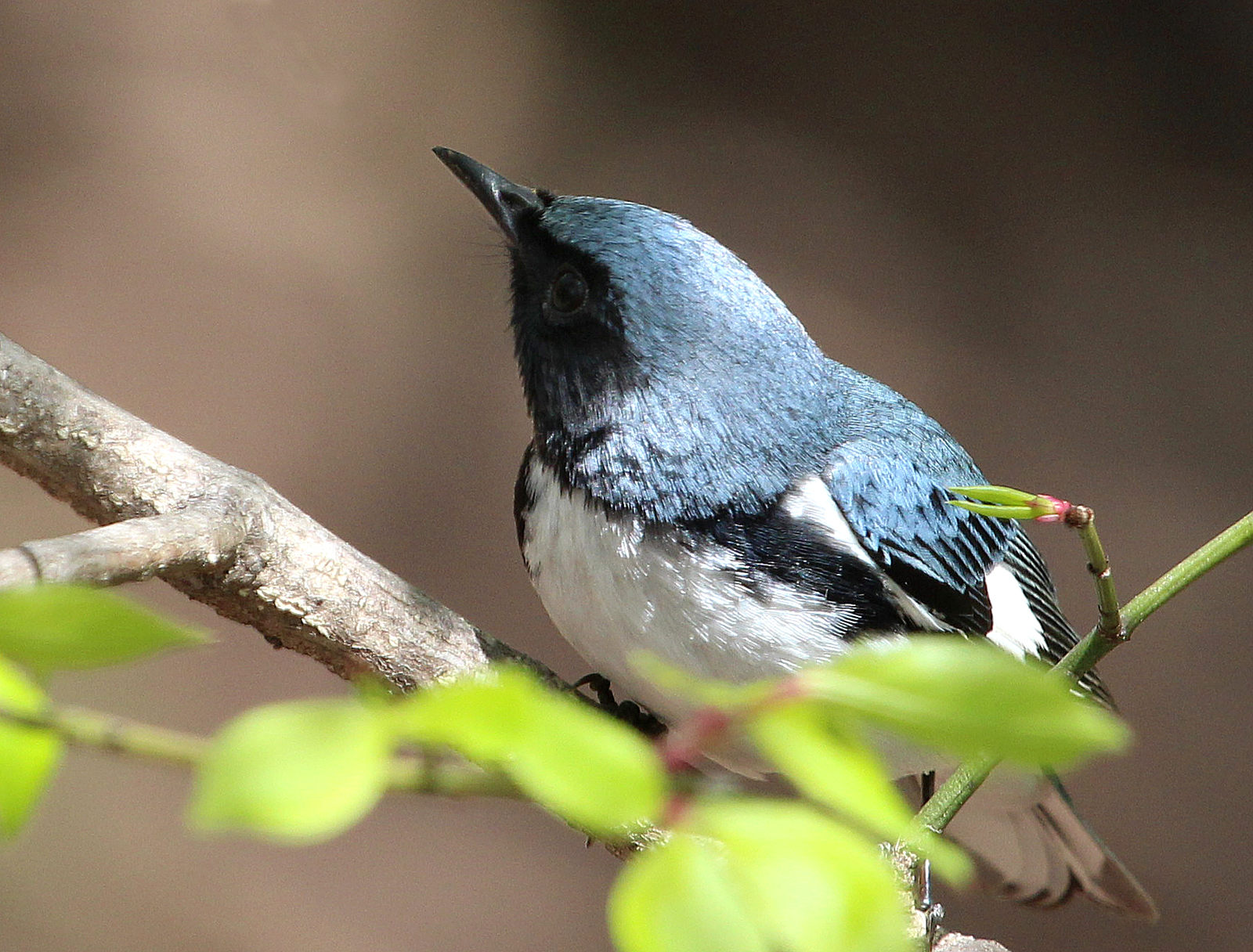 Photo by Chris Bosak A Black-throated Blue Warbler perches in a tree at Selleck's/Dunlap Woods on Sunday, May 4, 2014.