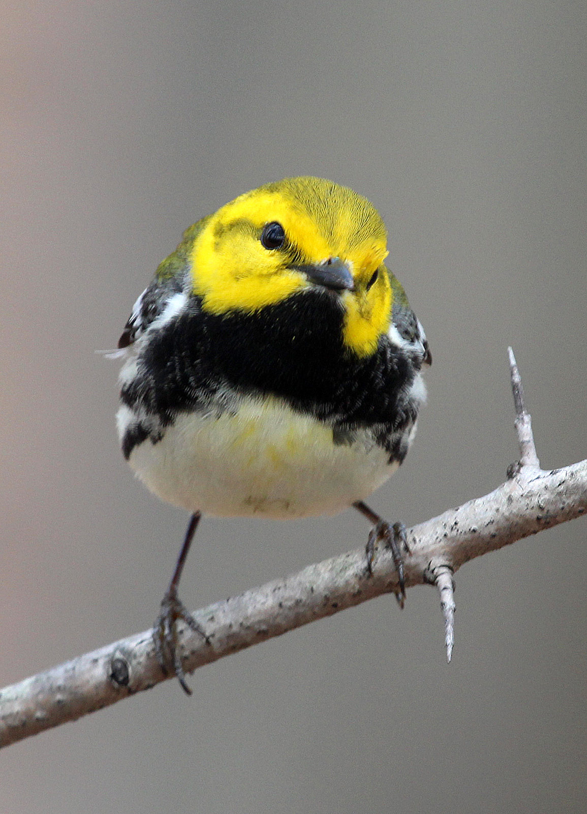 Photo by Chris Bosak A Black-throated Green Warbler perches in a tree at Selleck's/Dunlap Woods on Sunday, May 4, 2014.
