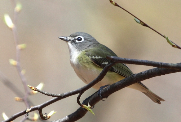 Photo by Chris Bosak A Blue-headed Vireo perches in a tree at Selleck's/Dunlap Woods on Sunday, May 4, 2014.