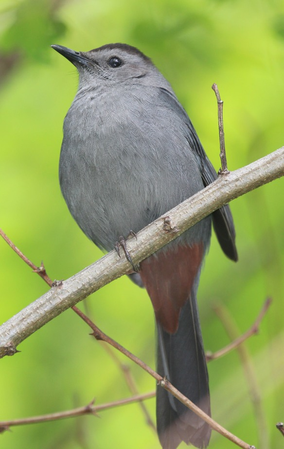 Photo by Chris Bosak A Gray Catbird perches on a branch at Selleck's Woods in Darien, Conn., May 2014.
