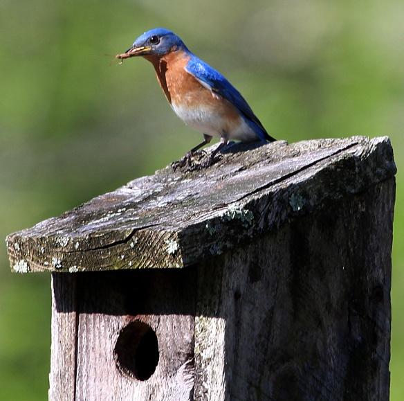 Photo by Chris Bosak Eastern Bluebird at Mather Meadows, a property of the Darien (Conn.) Land Trust.