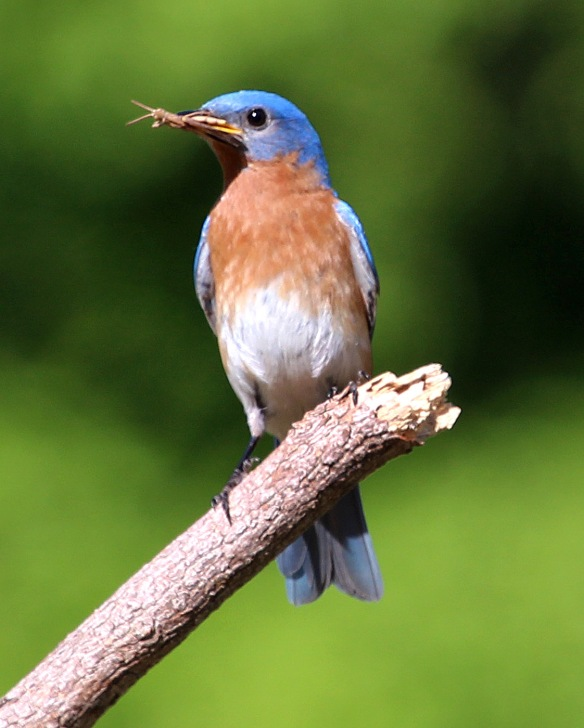 Photo by Chris Bosak Eastern Bluebird at Mather Meadows, a property of the Darien (Conn.) Land Trust.