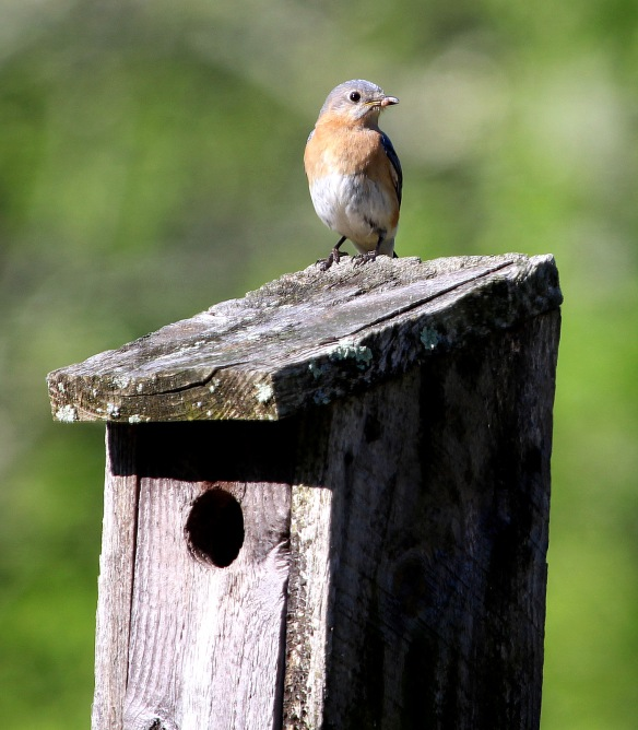 Photo by Chris Bosak Female Eastern Bluebird at Mather Meadows, a property of the Darien (Conn.) Land Trust.
