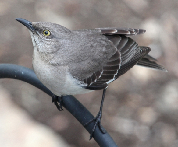 Photo by Chris Bosak Northern Mockingbird perches before jumping up to a suet feeder in Stamford, Conn.