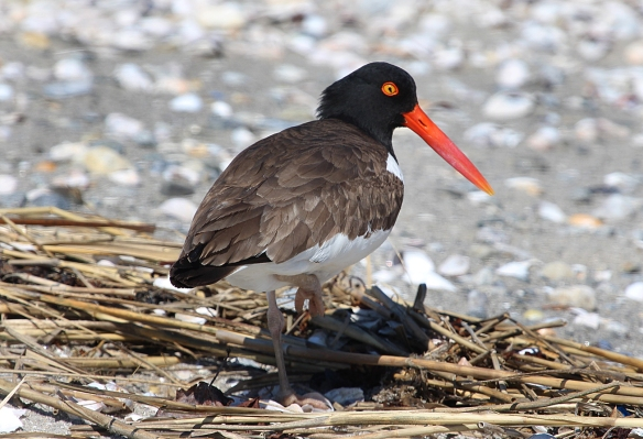 Photo by Chris Bosak An American Oystercatcher walks along the beach at Coastal Center at Milford Point this spring.