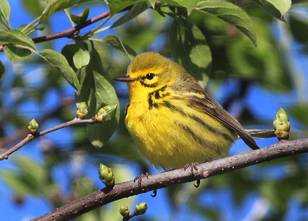 Photo by Chris Bosak A Prairie Warbler perches in a tree at Selleck's/Dunlap Woods on May 5, 2014.