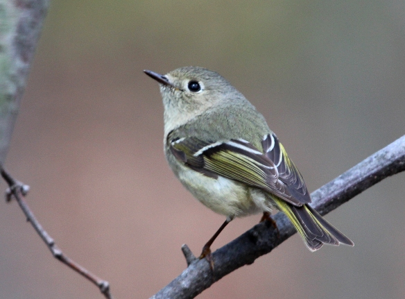 Photo by Chris Bosak A Ruby-crowned Kinglet perches in a tree at Selleck's/Dunlap Woods on May 5, 2014.