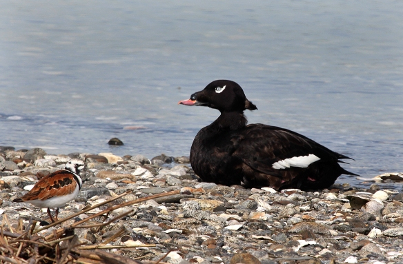 Photo by Chris Bosak A White-winged Scoter rests on the beach as a Ruddy Turnstone shares the area at Coastal Center at Milford Point on Monday, May 12, 2014.