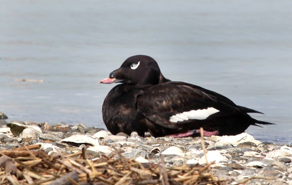 Photo by Chris Bosak White-winged Scoter at Milford Point, Connecticut, May, 2014.