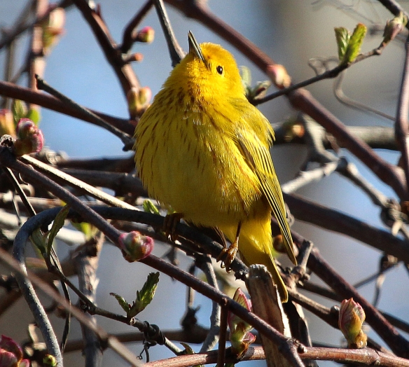 Photo by Chris Bosak A Yellow Warbler sings in a tree at Selleck's/Dunlap Woods on May 5, 2014.