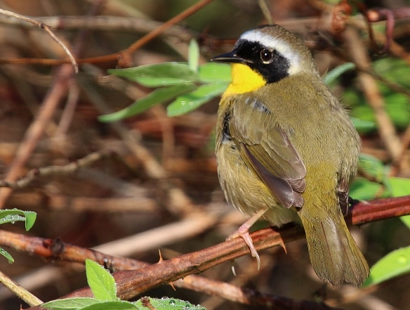 Photo by Chris Bosak A Common Yellowthroat perches on a branch at Selleck's/Dunlap Woods on Sunday, May 11, 2014.