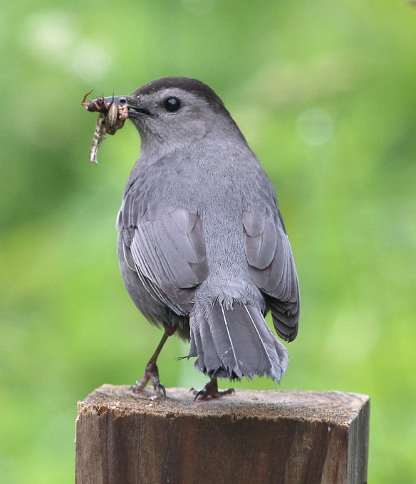 Photo by Chris Bosak A Gray Catbird brings a mouthful of goodies back to its young at Selleck's/Dunlap Woods in spring 2014.